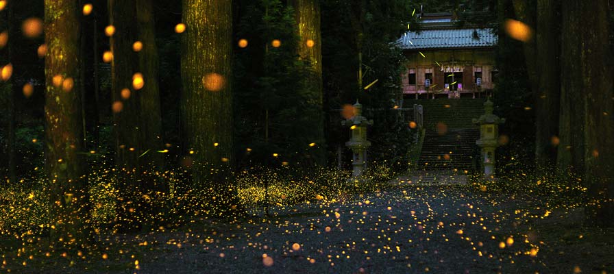Hime Fireflies at Uchio Shrine