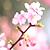 写真 本州で一番早い春! 伊豆・箱根に泊まって桜・梅めぐり♪