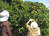 みかん・オレンジ狩り