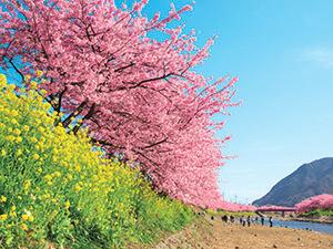 河津 桜まつり
