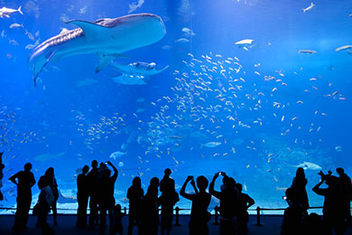 ジンベエザメやマンタが優雅に泳ぐ沖縄美ら海水族館。