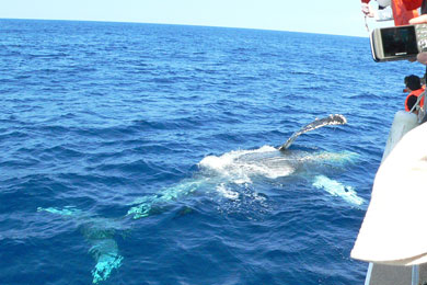 ザトウクジラの雄大な姿に痺れっぱなしの感動体験!