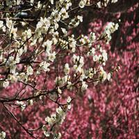 【梅の宴】 【湯河原梅林 約4000本 紅・白梅観賞】 × 【温泉】 〜春旅〜