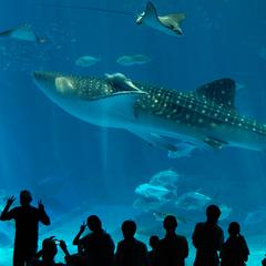 ≪美ら海水族館チケット付≫ 本物のジンベエザメを見に行こう! (夕朝食付き)