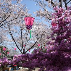 春★桜★四万十随一の桜スポットまで徒歩3分で!お花見へでかけよう♪