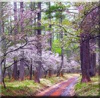 【 春 特典付き 】 春 爛 漫 !、富士山麓の壮麗な花を訪ねて
