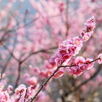【梅】♪湯河原温泉☆4000本の梅咲き乱れる【梅の宴プラン】♪特典付きだょ♪