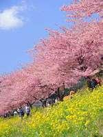 【期間限定】☆みなみの桜と菜の花まつり☆お花見プラン♪