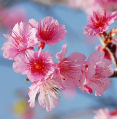【桜リキュールのカクテル1回付き】桃色の桜と出会う春一番の旅♪
