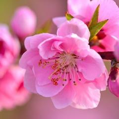日本一早いお花見◆山梨県石和温泉で桃のお花見◇ワイン風呂でお肌しっとり♪1泊2食付◆特典付