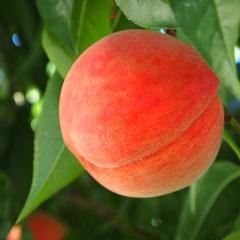 【7月〜8月限定】●もも●新亀イチオシ!季節の果物狩り≪無料≫ももを味わい尽くそう◇1泊2食◇