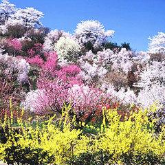 ◇お弁当付◇福島の桃源郷・花見山で春の香りを感じる*花街道*プラン【豚しゃぶ&貸切温泉】
