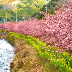 【2/1〜3/31】春の2大特典<桜のソルティドッグ&お刺身>付き♪河津桜でお花見プラン