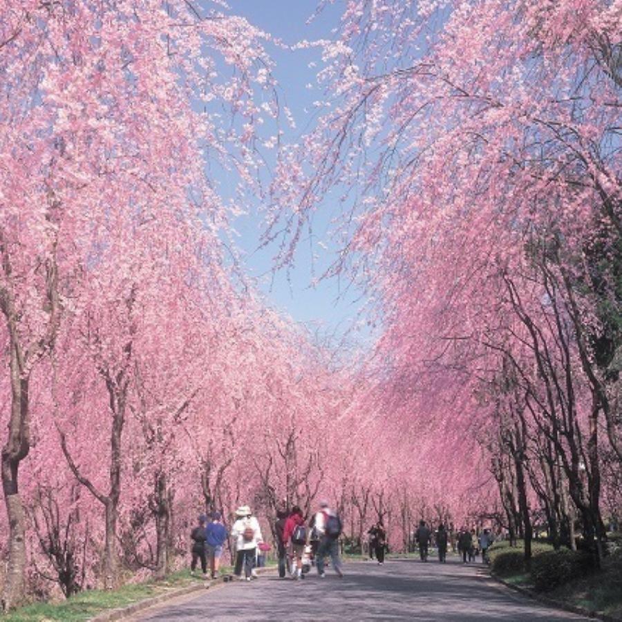 【桜満喫プラン】世羅甲山ふれあいの里「桜まつり」入園券付き!!<朝食付>