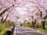 日本三大桜「三春の滝桜」や「二本松市47か所桜巡り」春の桜散策プラン