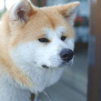 【1日2組限定】温ちゃん・華ちゃんのお散歩同行体験プラン♪秋田犬と触れあおう!