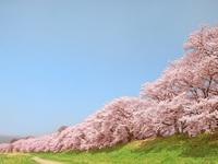 【2月・3月開催】【春はここから・・】桜鯛と桜姫鶏の桜まつりフェア