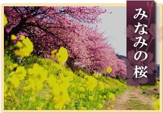 ★みなみの桜★