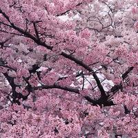 【みなみの桜と菜の花まつり】早春のお花を見に行こう!★地魚グルメも満喫♪[1泊2食付]