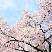 〓4月限定〓筍、そら豆、桜鯛、春の味覚をとりこんだ花見の八寸、桜海老ウスイ豆真丈のお椀物を特選会席で