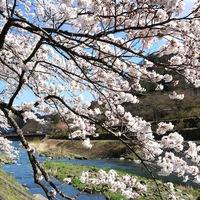 【箱根の桜巡り】3月中下旬から1ヶ月楽しめる箱根路の桜と春の和懐石&選べるワインを味わう