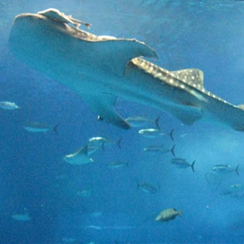 優雅な海の世界へ・美ら海水族館入場券付きプラン