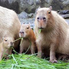 【FAMILY〜家族〜】元祖カピバラの露天風呂再開!ファミリーにオススメ♪お子様も歓迎!