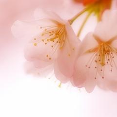桜フェア 〜関西で人気のお花見スポットに行こう♪〜(素泊り)