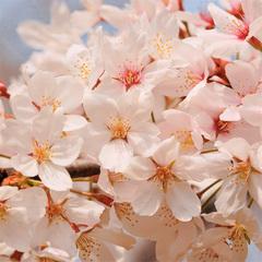 【お花見】琵琶湖面を華やかに彩る桜道をワンコとお散歩♪周辺に有名スポット「海津大崎」!現金特価
