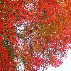 ≪秋の行楽≫といえば!紅葉散策☆瀬戸内の新鮮食材を使った葵御膳で秋の味覚も!