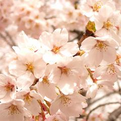 【*お花見*】かつらぎ温泉を楽しむ*その後は桜の名所へ♪<無料特典付>