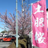 【土肥桜&河津桜】早春の伊豆でお花見×温泉ドライブ×金目鯛の煮付けを楽しもう♪