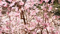 【吉野桜見ごろ期間限定】春の吉野山は最高のロケーション!ぶらっと散策【素泊り】