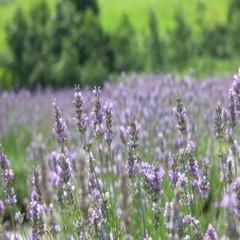 【Enjoy蒜山】高原で花に囲まれた優雅な時間を!ハービル入園チケット&ハーブティー