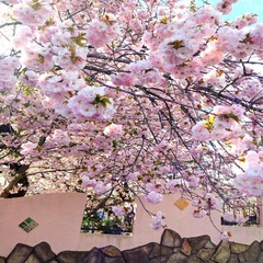 【五感で楽しむ春】桜ほころぶ春の蒜山旅〜真庭の桜ガイドブック付〜1泊2食 春の豆乳鍋プラン