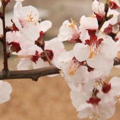 【あんず祭り♪嬉しい特典付き!】あんず生産量日本一!春の訪れを長野の千曲で♪≪うづら御膳≫1泊2食
