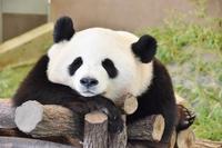 ★期間限定★【アドベンチャーワールド券付】年始に赤ちゃんパンダに会いに行こう♪