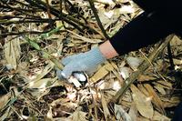 【山菜狩り】根曲り竹収穫プラン【ガイド付き】特別山菜ディナー