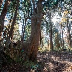 【幻想体験】月・水・金曜日限定 早朝の『幻想の森』へご案内〜樹齢千年の木々と目覚める朝〜