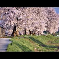 【地酒付き】*春うらら*芽吹きの季節!山菜料理と美味しい地酒でおもてなし〜お花見プラン〜