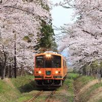 桜の見ごろは4月下旬〜5月上旬☆芦野公園でお花見&津軽半島をドライブしませんか?