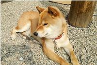 当家の警備犬(柴)ダムといかり娘と一緒にパトロールしよう一館貸切(90㎡・3室)