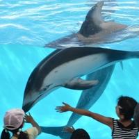 【SAZANA×下田海中水族館コラボ企画】小さなお子様でもイルカと遊べるよ!車で約25分