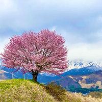 桜を見に行こう!!春・GWの白馬満喫♪♪ 素泊りプラン