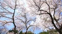 """ちどりが魅せる春の一番食材 """"桜鯛のポワレとあさりのアクアパッツァ"""" 本物志向へ贈る和洋折衷割烹"""