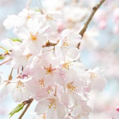 【桜咲く★】<当館近く>人気のお花見名所でサクラ満喫♪食事は部屋食!【1泊朝食付】
