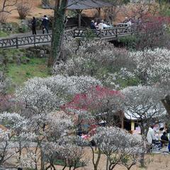 早咲き日本一!第74回熱海梅園「梅まつりプラン」