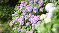 初夏の鎌倉歩き 紫陽花をイメージした限定洋食ディナーコース(夕朝食付き)