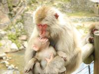 【地獄谷野猿公苑 チケット付】温泉に入る ニホンザル  一泊二食付プラン【季節の彩り御膳】