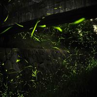 【ホタル観賞】湯郷温泉大谷河川敷にて5月下旬から6月上旬までホタルを鑑賞できます【一泊二食付き】